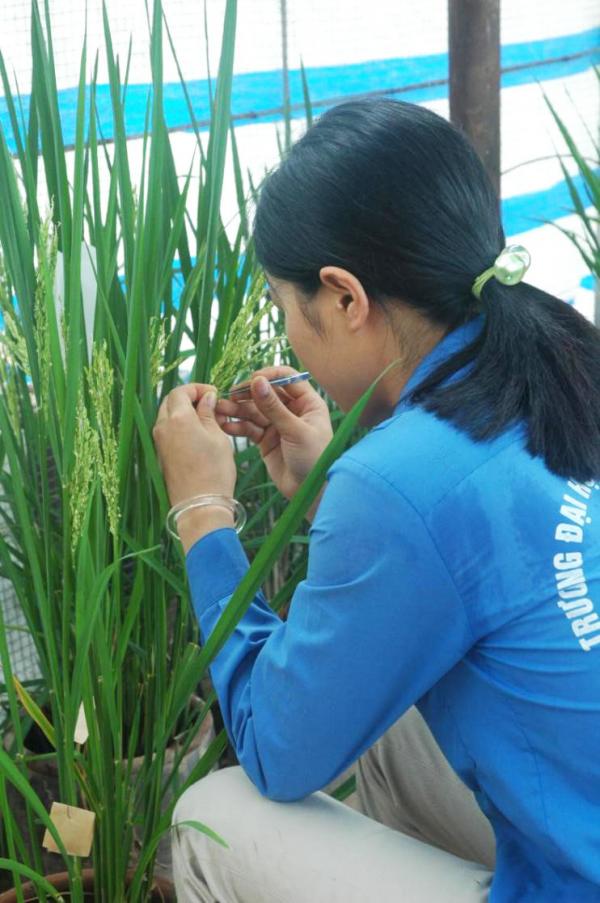 Sinh viên thực hành lai tạo giống lúa