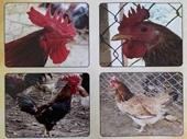 Nghiên cứu chọn lọc dòng gà Mía có khả năng sinh trưởng cao bằng công nghệ sinh học phân tử