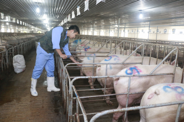 Hệ thống chuồng trại chăn nuôi hiện đại của Tập đoàn Mavin. Ảnh: Vũ Mưa.
