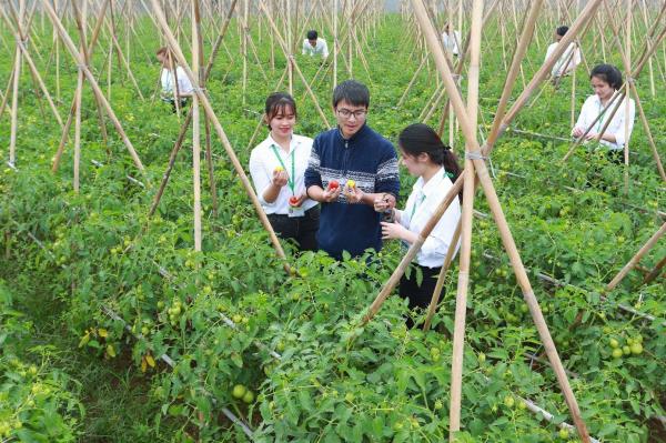 Mô hình nghiên cứu chọn giống cà chua tại Học viện