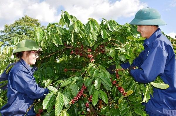 Cà phê-cây công nghiệp chủ lực của tỉnh-tiếp tục được đầu tư sản xuất theo chiều sâu gắn với thị trường tiêu thụ. Ảnh: Trần Dung