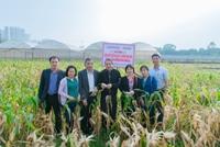 Kiểm tra, đánh giá mô hình sản xuất hạt lai F1 thuộc dự án Sản xuất thử và phát triển giống ngô nếp tím lai VNUA141 giàu anthocyanin, phục vụ nhu cầu ăn tươi tại Hà Nội