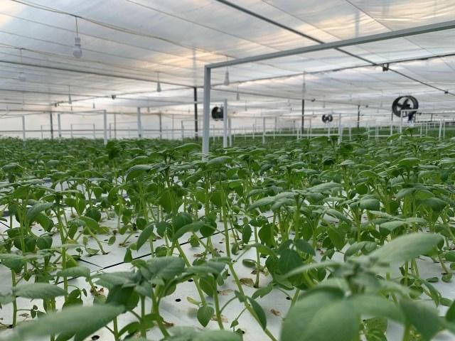Khoai tây trong nhà màng khí canh do Công ty Orion Vina tài trợ cho Viện Công nghệ sinh học