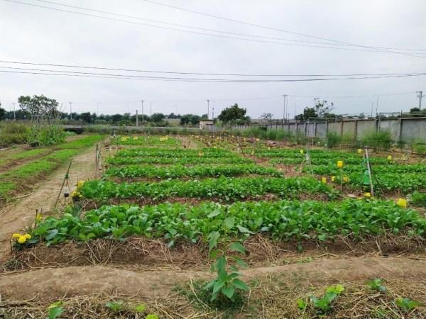 Vườn rau hữu cơ sau 4 tuần gieo trồng