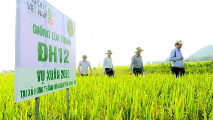 Mô hình cánh đồng lớn sản xuất lúa ĐH12 đạt năng suất trên 70 tấn/ha ở vụ xuân 2020. Ảnh: Minh Phúc.