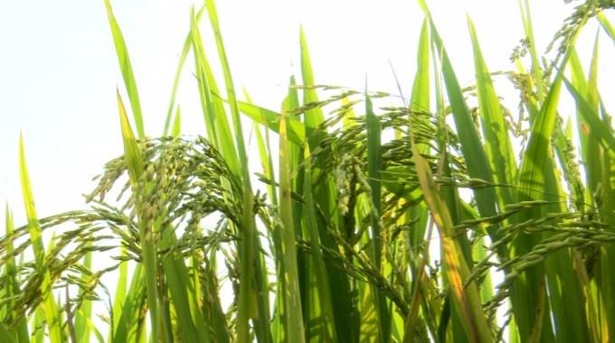Bông lúa ĐH12 có tỷ lệ hạt chắc cao. Ảnh: Minh Phúc.