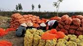 Đổi giống mới, nông dân trồng khoai tây thắng lớn