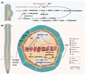 Nghiên cứu mối tương tác giữa hệ thống thân lá và hệ thống rễ ở thực vật trong điều kiện stress