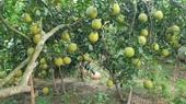 """Giải pháp phát triển bền vững cây bưởi thồ tại Xã Bạch Hạ - Huyện Phú Xuyên Hội thảo """"Khai thác và phát triển bền vững giống bưởi Thồ"""""""