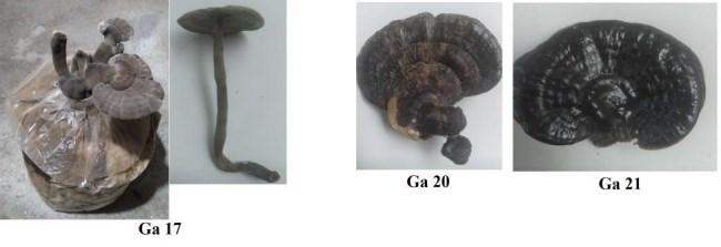 Hình 7. Hình thái quả thể của các chủng Linh chi