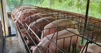 Có thể sẽ có dòng lợn kháng với bệnh tả lợn châu Phi