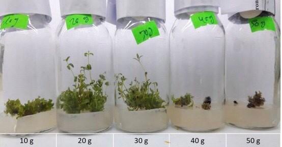 Sinh trưởng của cụm vi chồi Hoàng cầm trên môi trường có hàm lượng đường sucrose khác nhau sau 4 tuần theo dõi