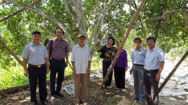 Hội đồng bình tuyển cây đầu dòng giống bưởi Thồ tại Bạch Hạ, Phú Xuyên
