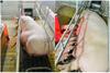 Chết lưu ở lợn con gây thiệt hại lớn cho ngành chăn nuôi ở Việt Nam