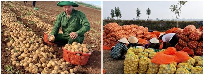"""Thông qua dự án """"Khoai tây quê hương"""", Orion góp phần nâng cao hiệu quả, năng suất canh tác khoai tây giống tại Việt Nam."""