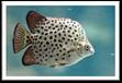 Ảnh hưởng của các điều kiện sinh thái khác nhau đến thành thục sinh dục của cá nâu Scatophagus argus Linnaeus, 1766