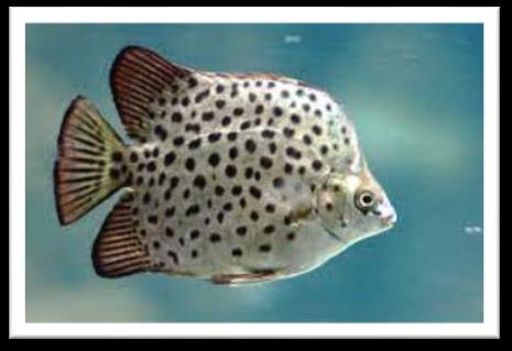 Hình 1. Ảnh minh họa cá nâu