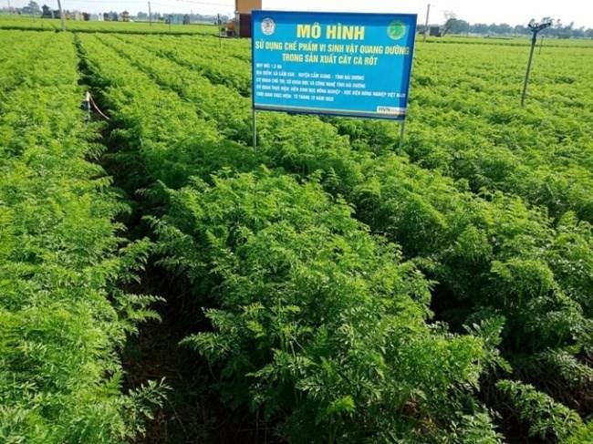 Mô hình sử dụng chế phẩm vi sinh vật quang dưỡng trong sản xuất cà rốt tại Cẩm Giàng