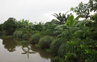 Litchi-based Agroforestry Systems in Hai Duong province