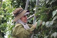 Cứu những vườn tiêu chết Trồng tiêu hữu cơ, giá bán tăng