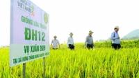 Giống lúa ĐH12 được vinh danh nhờ Chương trình Sản phẩm Quốc gia về lúa gạo