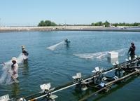 Chế phẩm sinh học AGG - Xử lý nước nuôi trồng thuỷ sản