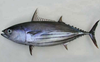 Small tuna - Potential raw material for high value-added food processing in Vietnam