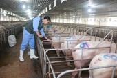 Đại gia thép, ô tô nhảy vào nuôi lợn, nhân lực ngành chăn nuôi khát chưa từng có