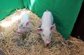 Lợn chuyển gen đã được thử nghiệm nhằm ngăn chặn sự nhân lên của virus ASF