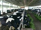 Cơ cấu lại ngành Chăn nuôi