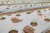 Hiệu quả của việc sử dụng màng phủ trong trồng ngô