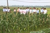 Mô hình sản xuất hai giống ngô nếp lai HUA601 và ADI688 có năng suất và chất lượng cao tại tỉnh Hải Dương