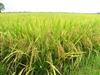 Giới thiệu bốn giống lúa mới