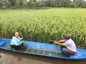 Lai thơm 6, giống lúa lai chất lượng cao của Việt Nam