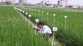 Nhà nông học Nguyễn Thị Trâm chia sẻ kinh nghiệm tạo giống lúa lai
