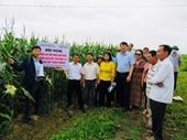 New hybrid corn varieties promise high economic efficiency
