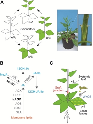JA but not JA-Ile is the cell-nonautonomous signal activating JA mediated systemic defenses to herbivory in Nicotiana attenuata