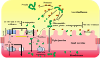 Important roles and absorption of bioactive peptides in the prevention of lifestyle-related diseases